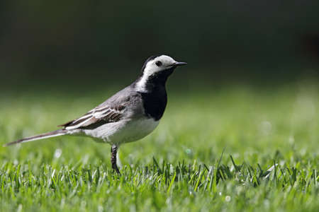 White Wagtail (Motacilla alba) searching for food on a lawn. Stock Photo - 14122588
