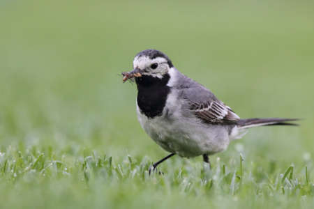 White Wagtail (Motacilla alba) searching for food on a lawn. photo