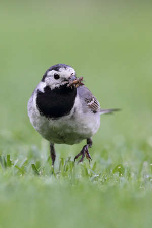 White Wagtail (Motacilla alba) searching for food on a lawn. Stock Photo - 14122583