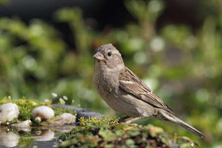 passer by: Female House Sparrow (Passer domesticus) drinking at a bird bath.