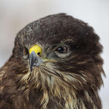 zopilote: Cerca de un halcón común (Buteo buteo).