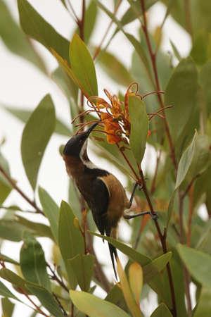 lamington: Eastern Spinebill (Acanthorhynchus tenuirostris) sitting in a bush in the Lamington National Park, Queensland, Australia.