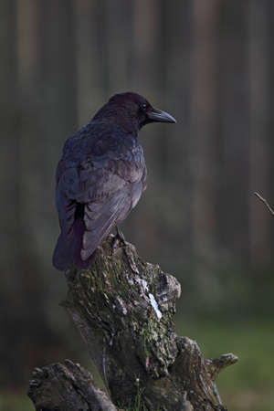 carrion: Carrion Crow (Corvus corone) sitting on a tree trunk. Stock Photo