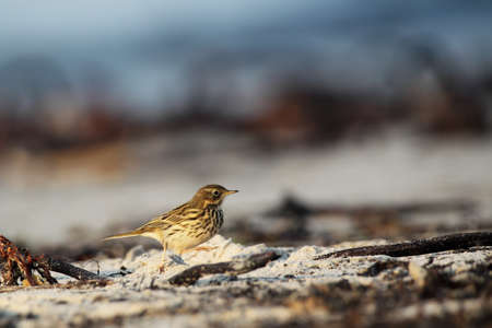 speckle: Meadow Pipit (Anthus pratensis) on the beach of Helgoland.