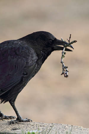 carrion: Carrion Crow (Corvus corone) with a twig in the beak. Stock Photo