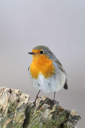 European Robin (Erithacus rubecula) sitting on a tree stump in winter. photo