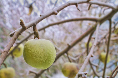 Green Apple with Winter Frost from Tree Branch