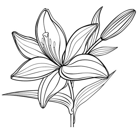 a lily flower with a bud. black and white. linear drawing. coloring book for adult and older children. Vector illustration. Outline hand drawing