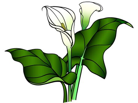 Callas flowers with leaves. Bouquet. White callas. Lilies. Linear pattern with a gradient.
