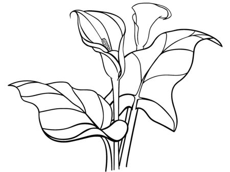 Callas flowers with leaves. Bouquet. White callas. Lilies. Line drawing for coloring. Botanical illustration. Outline hand drawing