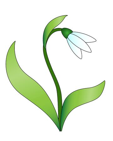 Snowdrop Snowdrop flower with leaves and stalk. White forest primrose. First spring flower - vector full color picture Ilustrace