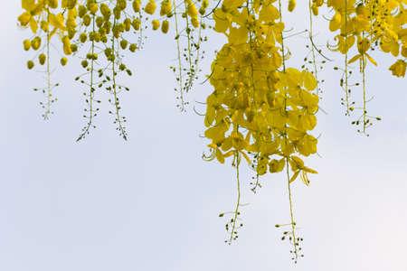 golden shower: Cassia fistula flower yellow gold color as frame