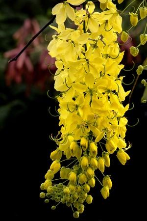 golden shower: Cassia fistula flower yellow gold colour
