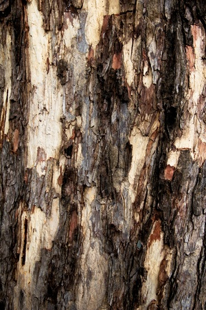 bleached: Wooden texture - Bark Pattern of Old tree Stock Photo