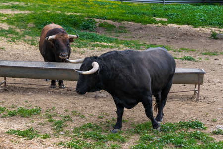 Pasture for breeding bulls in semi-freedom