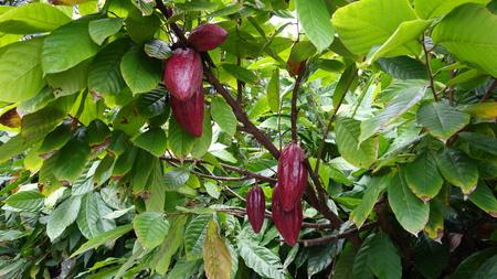 Raw cocoa growing in Kailua Kona, Big Island (HI, USA) 版權商用圖片