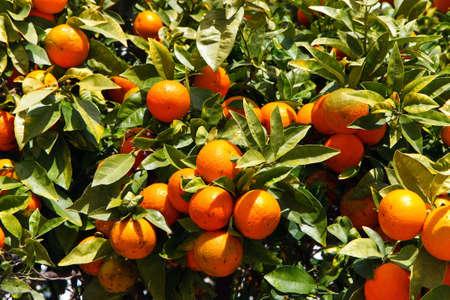 mandarine: mandarine tree