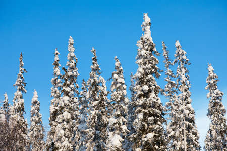 snowcovered: snow-covered fir tree on blue sky