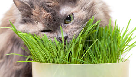 A pet cat eating fresh grass, on a white background  photo