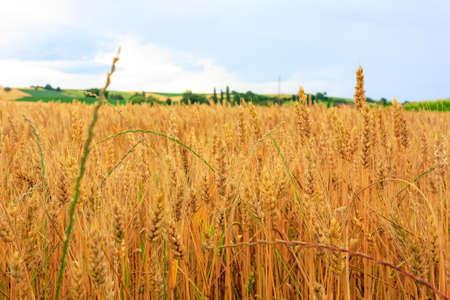 Photo of Wheat Field, closeup photo