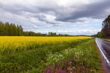 View of a Field of Bright Yellow rapeseed in front of a forest photo