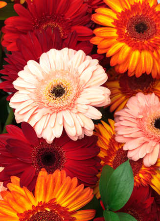 Vibrant Colorful Daisy Gerbera Flowers, background photo