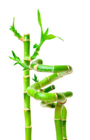 Lucky Bamboo Plant  Dracaena sanderiana , isolated on white background photo