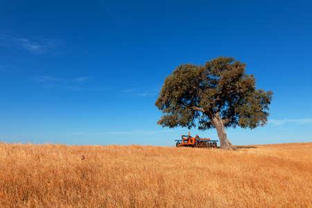 broad leaf: Single tree in a wheat field on a background of blue sky, beautiful scenery