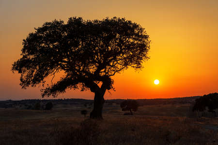 solitary tree: Single tree in a wheat field on a background of sunset, beautiful scenery  Stock Photo