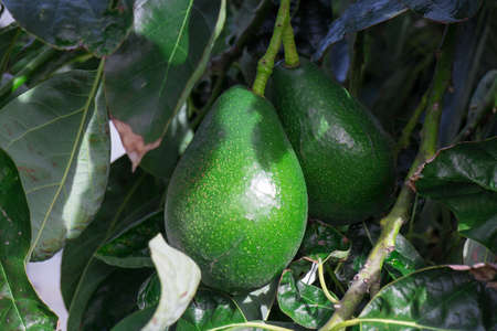 Bunch of Avocado hanging on the tree branch, closeup Stock Photo