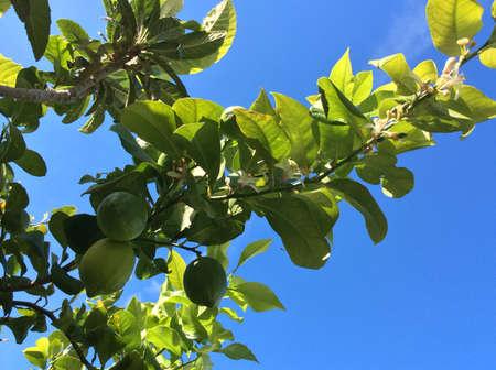 lemon tree: �rbol de lim�n con flores Foto de archivo