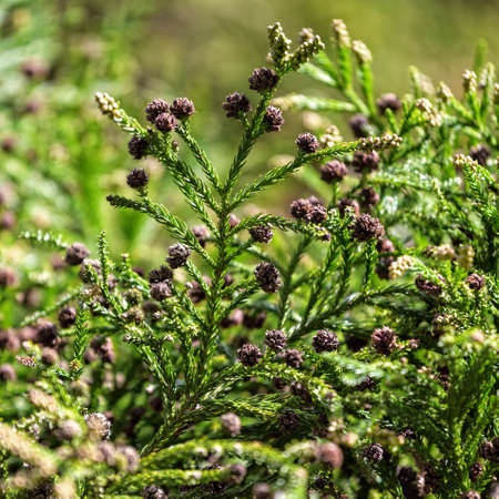 Green Prickly Branches with Bumps of Coniferous Tree, closeup photo