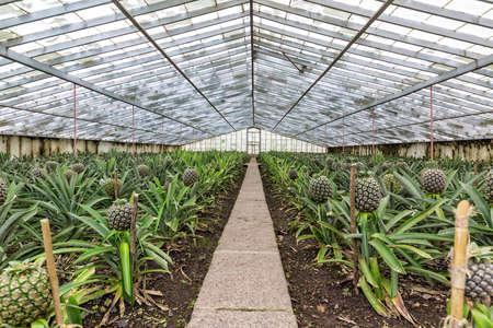 glasshouse: Fresh Pineapples Growing into Glasshouse, Faja de Baixo, Azores Stock Photo