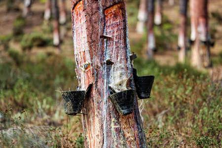 envases de plástico: Recoger la resina de pino en contenedores de plástico, de cerca
