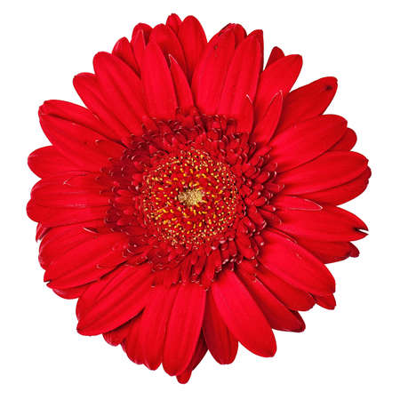 abloom: Red Gerbera Flower Isolated, on a white background Stock Photo