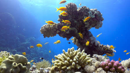 reef fish: Tropical Fish on Vibrant Coral Reef, underwater scene