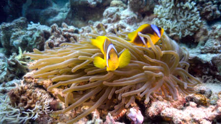 clown anemonefish: Clown Anemonefish on Coral Reef, underwater scene