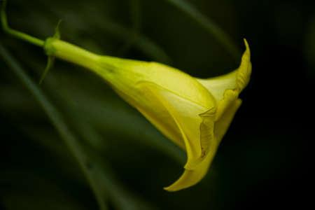 Lily flower with dark blur background