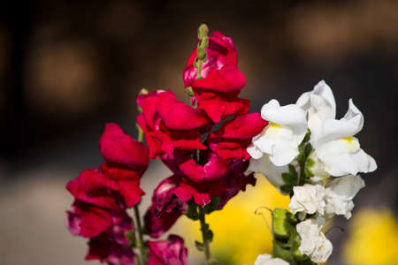 Beautiful flower with mixture of white and red blooming in garden