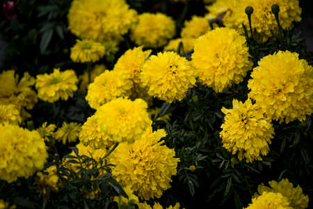 Bunch of beautiful yellow flowers blooming in sunset.