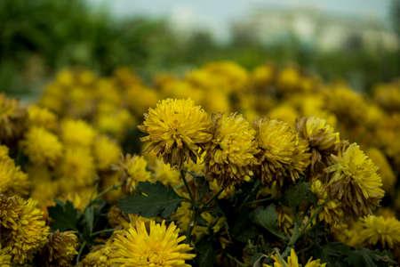 Beautiful bunch of yellow flowers blooming in a garden Stok Fotoğraf - 96398291