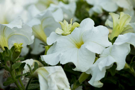 Amazing view of White beautiful flowers blooming in the garden