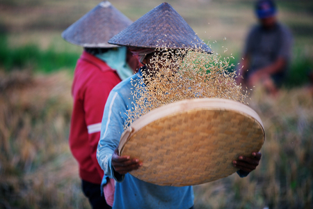 seven persons: indonesian rice worker Stock Photo