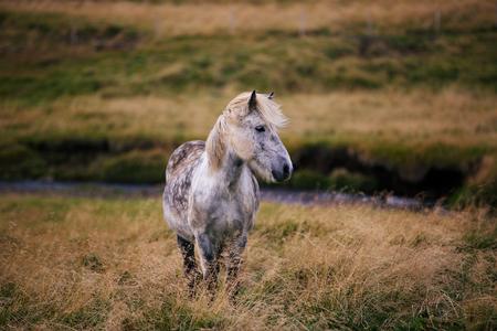 flaxen: iceland horse