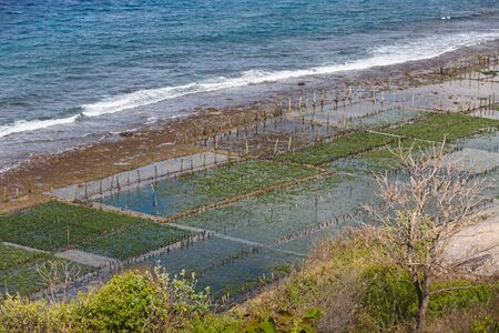 algal: Seaweed algae plantation in Nusa Penida island, Indonesia Stock Photo