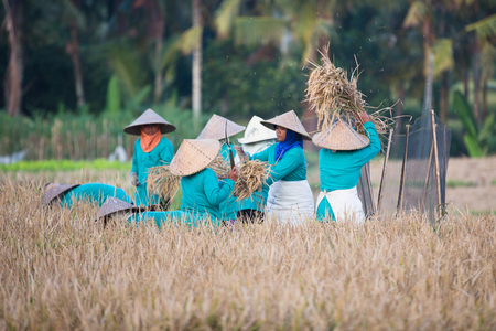 BALI, INDONESIA - JUNE 2, 2014: Asian women sifts rice at the rice field. Sajtókép
