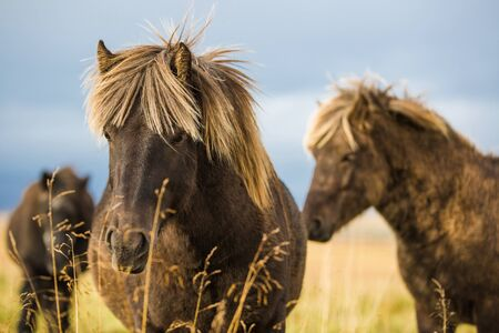 Beautiful Icelandic horses in the field
