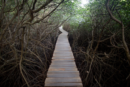 forest path: Path in Mangrove forest in Bali