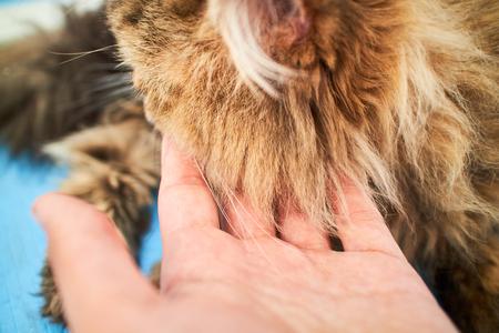 longhair: British longhair cat