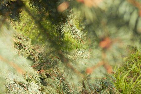 spruce spring